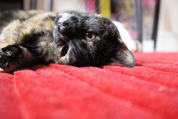 חתול על שטיח